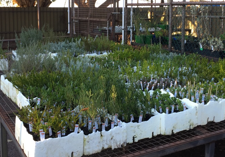National Tree Day plants in nursery